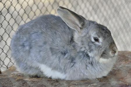 rabbit cage: triste coniglio grigio (lepre) in gabbia alla fattoria Archivio Fotografico