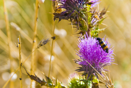 striped beetle on purple flower at steppe photo