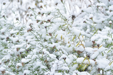 green bush under the first snow in the woods photo