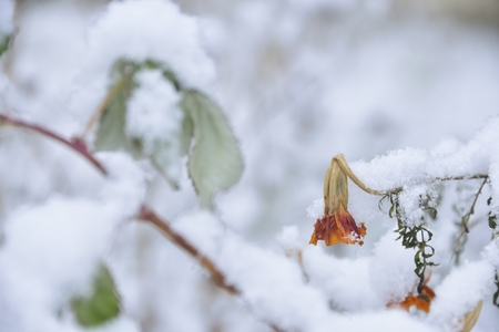 red autumn flowers (marigold) under the first snow photo
