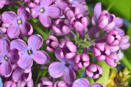 pestil: lilac buds (macro zoomed purple lilac flowers)