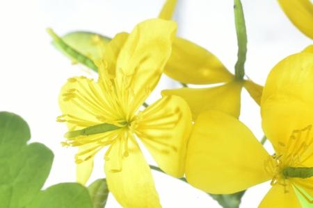 florescence: celandine flowers (yellow macro zoomed flowers)