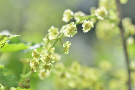 florescence: green currant  macro spring blossoms with long stamens in garden