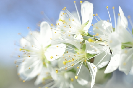 florescence: plum white macro spring blossoms with long stamens in garden Stock Photo