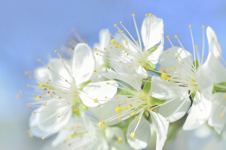 the stamens: plum white macro spring blossoms with long stamens in garden Stock Photo
