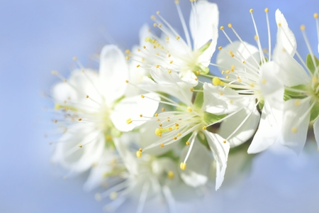 florescence: white macro spring blossoms with long stamens in garden background