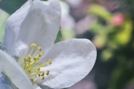 pestil: apple blossom (white macro zoomed flowers)
