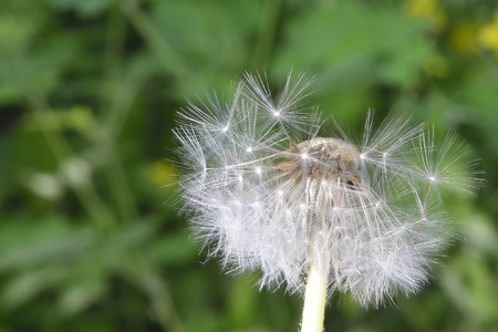 blowball: deflorate enlarged Dandelion ( blowball ) with fluff and seeds over green