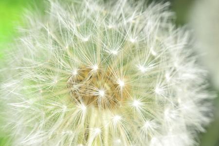 enlarged: Deflorate allargata Dandelion (blowball) con fluff e semi su verde