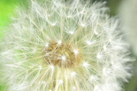 zoomed: deflorate enlarged Dandelion ( blowball ) with fluff and seeds over green