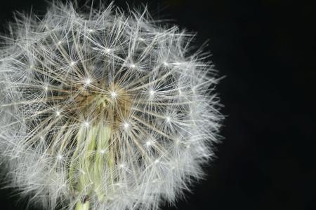 enlarged: Deflorate allargata Dandelion (blowball) con fluff e semi su nero Archivio Fotografico