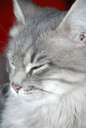 gray cat: face of young gray cat