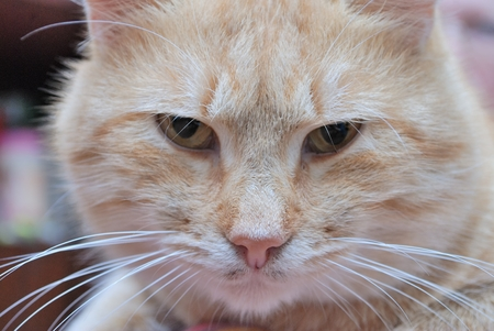 carroty: angry face of moustached  foxy cat