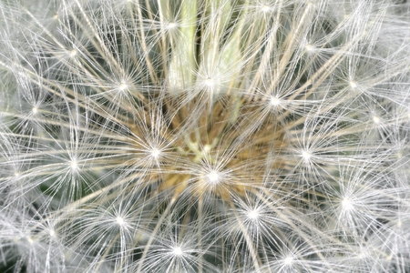 enlarged: deflorate enlarged Dandelion ( blowball ) with fluff and seeds over black