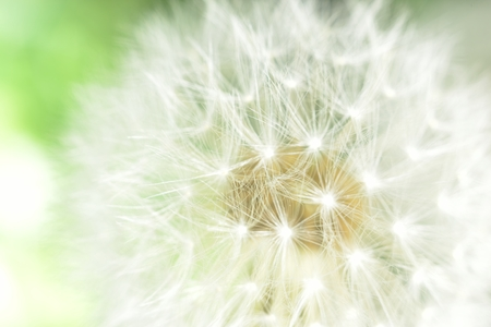 fluff: deflorate enlarged Dandelion ( blowball ) with fluff and seeds over green