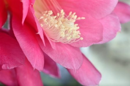 inside pink flower (macro extazoomed flower with pollen on pestils ) Stock Photo