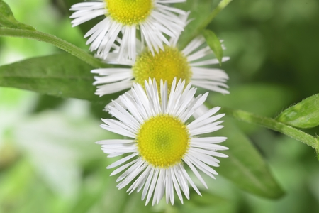 therapeutic: white wild therapeutic pharmaceutical blooming close-up camomile
