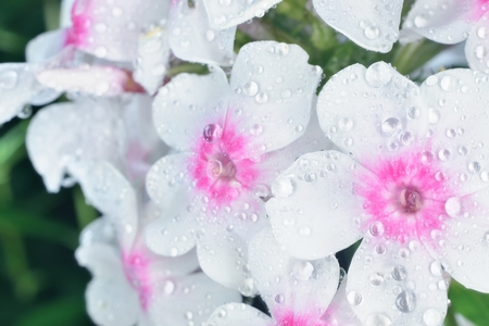 waterdrops: violet and white phlox after rain with big waterdrops Stock Photo