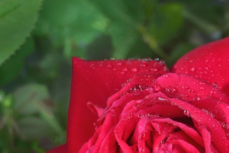 zoomed: red macro  zoomed rose petals with big waterdrops