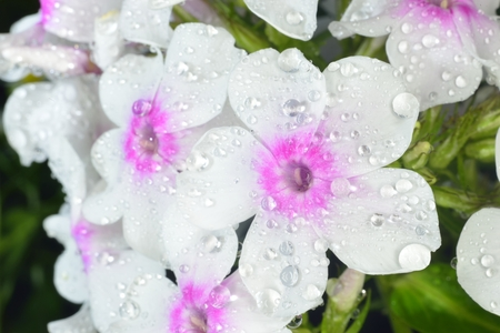 violet and white phlox after rain with big waterdrops Stock Photo