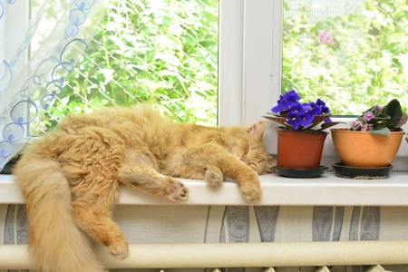 ginger cat: Sleep ginger cat on a window sill near flowers
