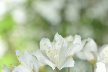 zoomed: macro zoomed spring white flowers over green Stock Photo
