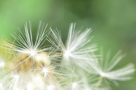 enlarged: deflorate enlarged Dandelion ( blowball ) with fluff and seeds over green