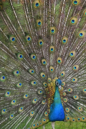 Peafowl with tail ( green and blue eyespots colors)