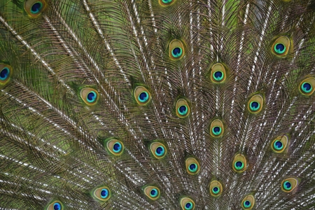 blue peafowl: Peafowl with tail ( green and blue eyespots colors)