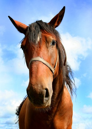 portrait of brown horse photo