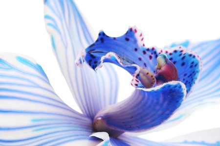 blue orchid: exotic blue orchid