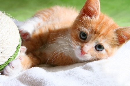 red playful kitten Stock Photo - 4103872