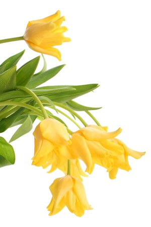 donative: bright yellow tulips isolated on white Stock Photo