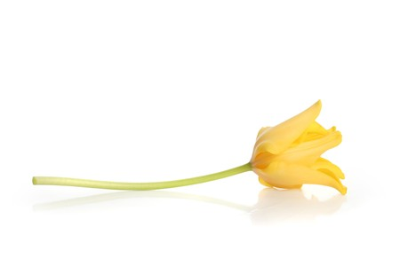 donative: bright yellow tulip isolated on white