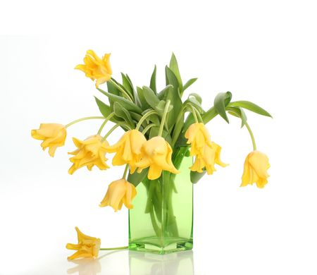 bright yellow tulips isolated on white photo