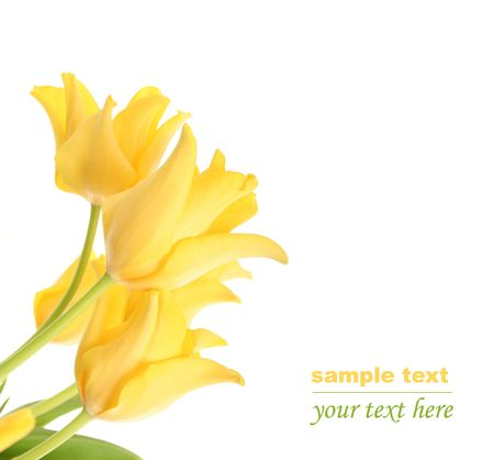 bright yellow tulips isolated on white Stock Photo