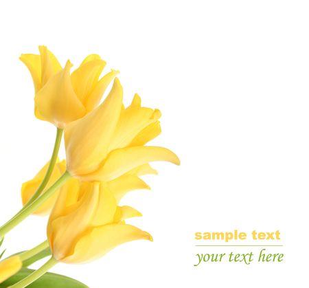leuchtend gelben Tulpen isoliert auf wei�em Lizenzfreie Bilder