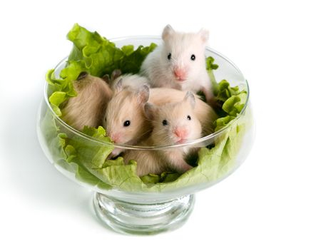 hamsters: Several hamsters sitting at glass with salad