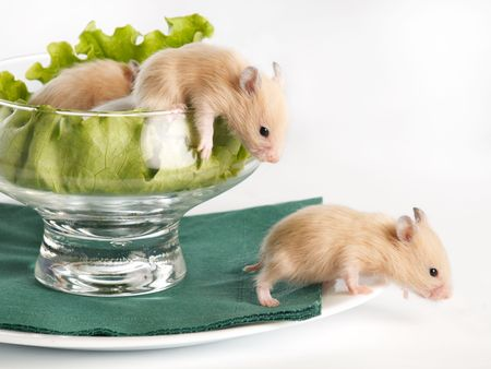 hamsters: Several hamsters sitting at glass with salad and one on the plate Stock Photo