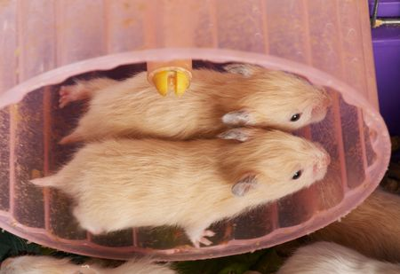 hamsters: two small hamsters running in the wheel Stock Photo