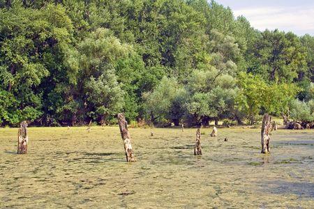Dear trees in swamp water. photo