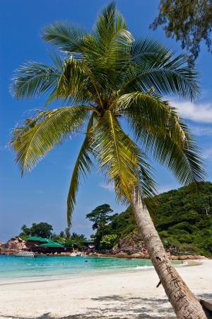 redang: Coconut palm on the island of Redang, Malaysia