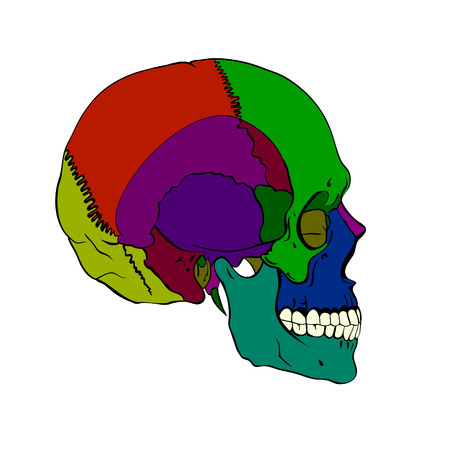 Colored human skull with a lower jaw.