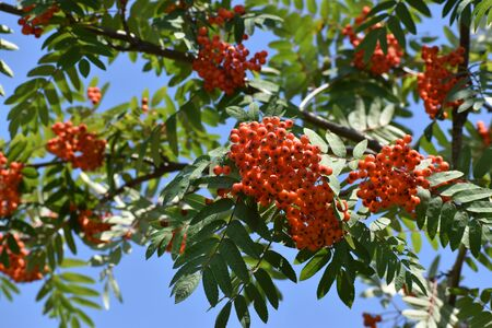 Rowan branch with a bunch of red ripe berries. Sorbus aucuparia tree on sky background