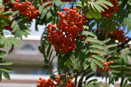 Branches of European Mountain Ash Rowan tree with ripe berries