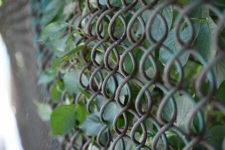 Fresh green leaves entangled into old rusty wire