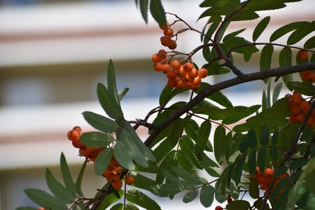 Rowan on a branch. Red rowan. Rowan berries on the tree