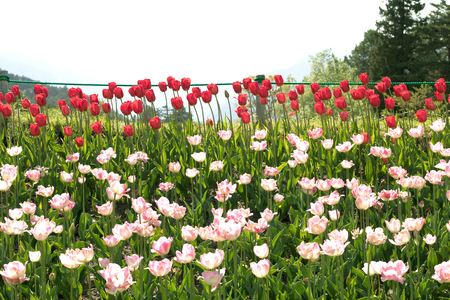 Beautiful tulip flowers in spring, colourful tulips, in the garden at sunny summer or spring day,Nagano,Japan Stock Photo