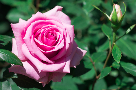 Beautiful pink rose  blooming in the garden