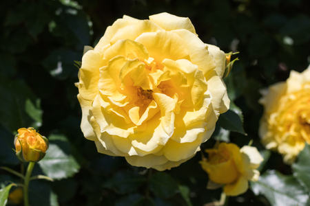 Beautiful  yellow rose  blooming in the garden at sunny summer or spring day,Nagano,Japan